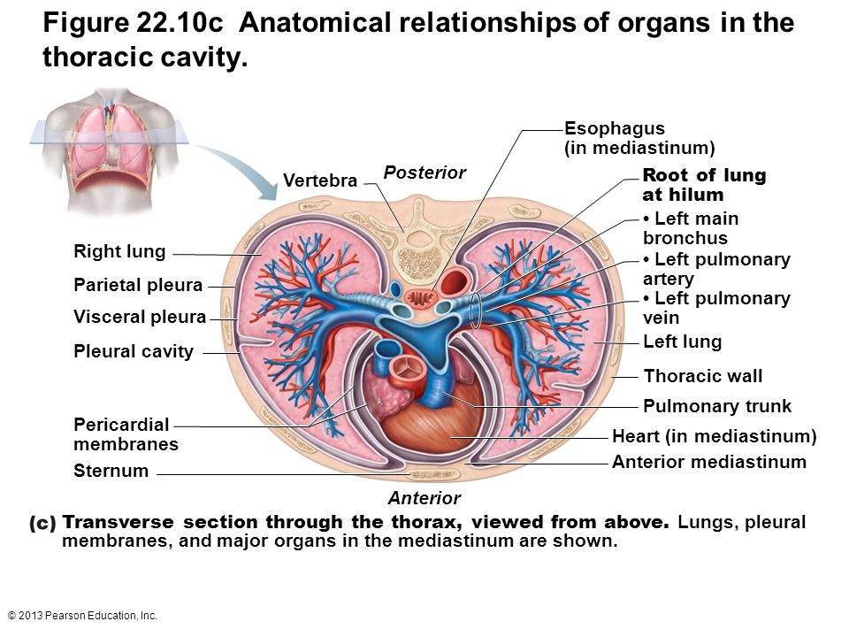 Figure 22.10c Anatomical relationships of organs in the thoracic cavity.