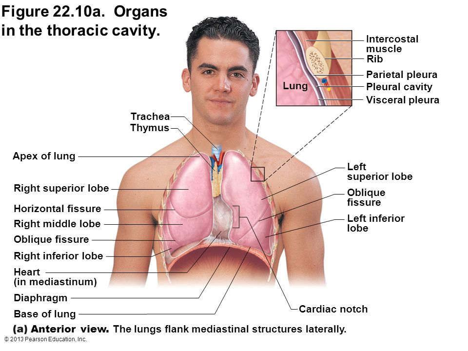 Figure 22.10a. Organs in the thoracic cavity.