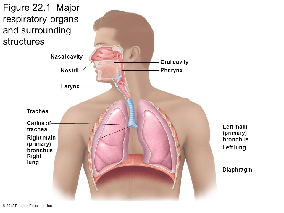 Figure 22.1 Major respiratory organs and surrounding structures