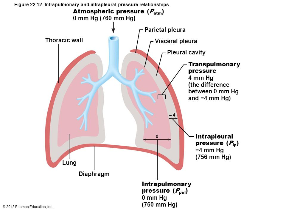 Figure 22.12 Intrapulmonary and intrapleural pressure relationships.