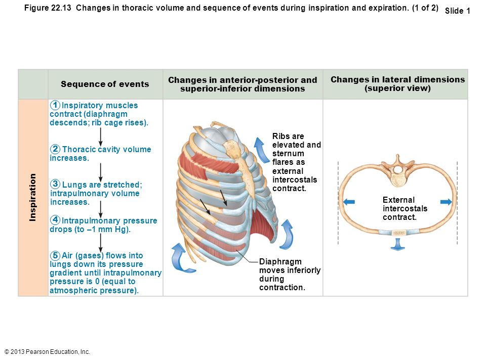 Changes in lateral dimensions (superior view) Sequence of events