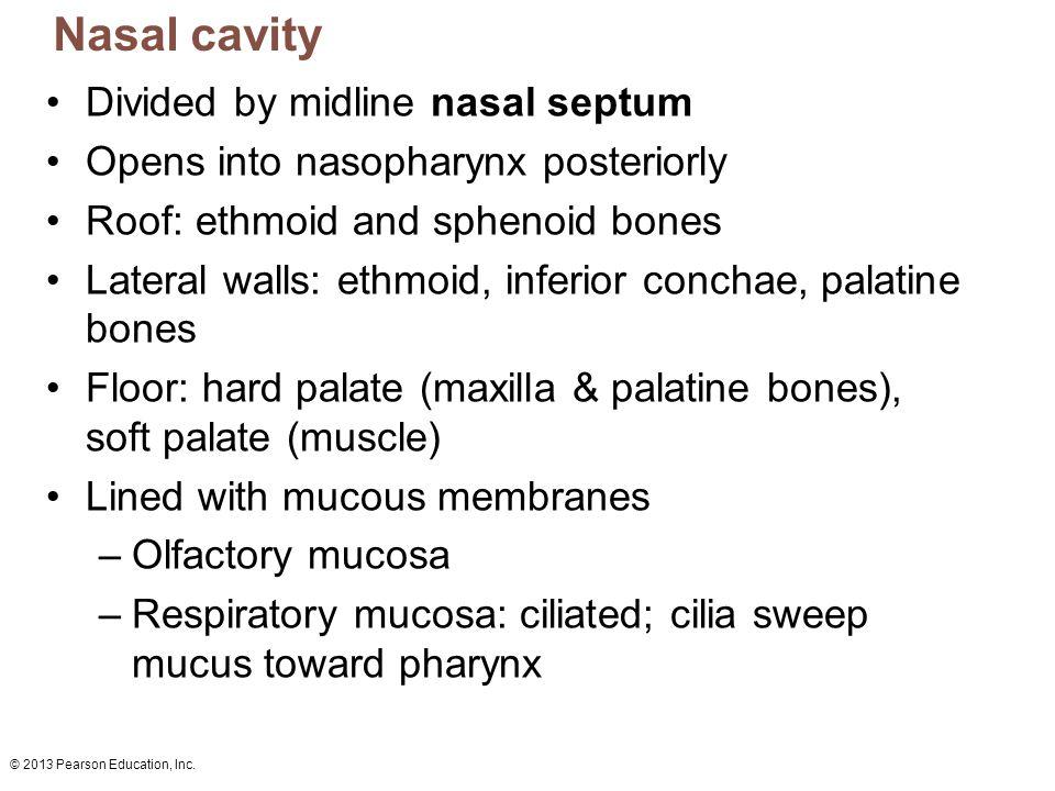 Nasal cavity Divided by midline nasal septum