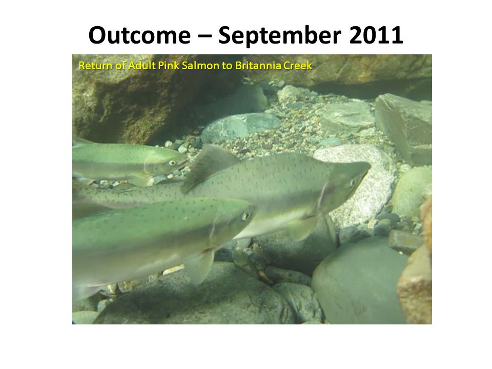 Outcome – September 2011 Return of Adult Pink Salmon to Britannia Creek Numerous Media Reports