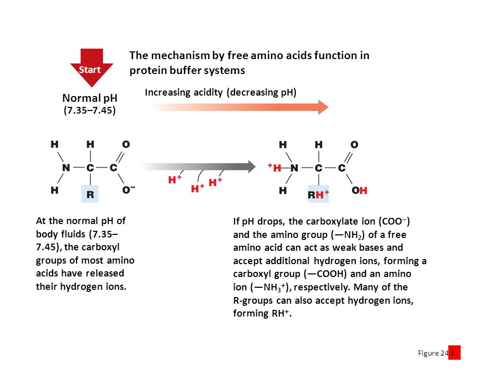 The mechanism by free amino acids function in protein buffer systems