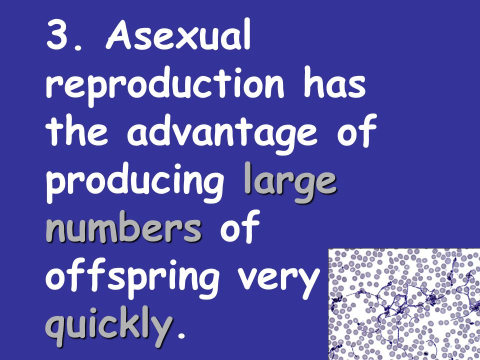 3. Asexual reproduction has the advantage of producing large numbers of offspring very quickly.