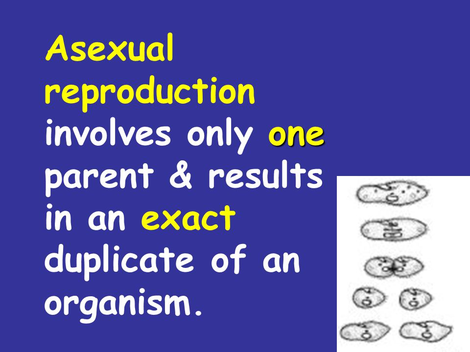 Asexual reproduction involves only one parent & results in an exact duplicate of an organism.