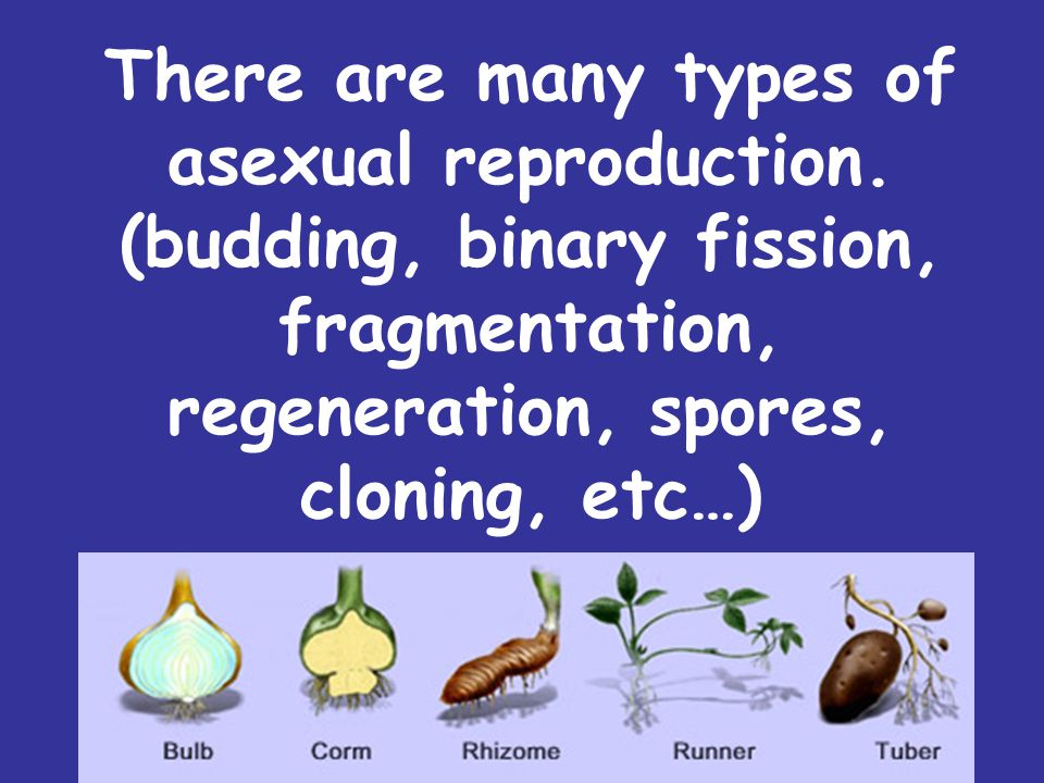 There are many types of asexual reproduction