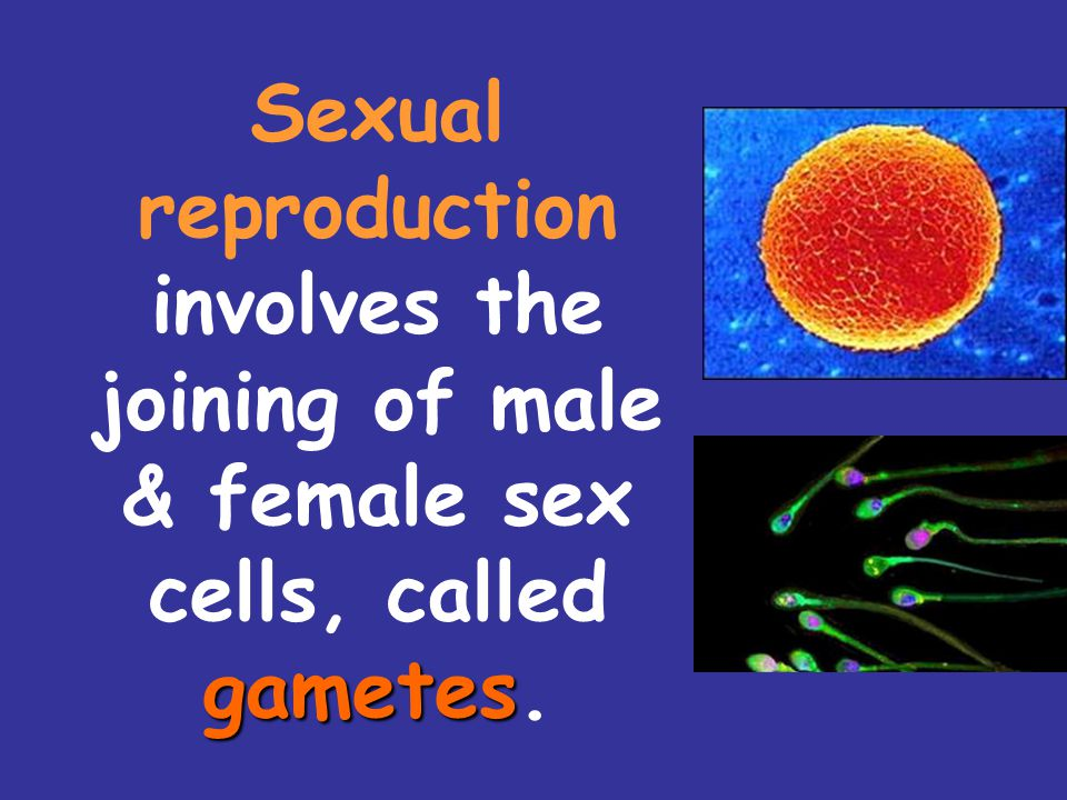 Sexual reproduction involves the joining of male & female sex cells, called gametes.