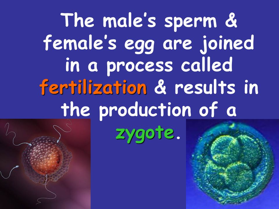 The male's sperm & female's egg are joined in a process called fertilization & results in the production of a zygote.