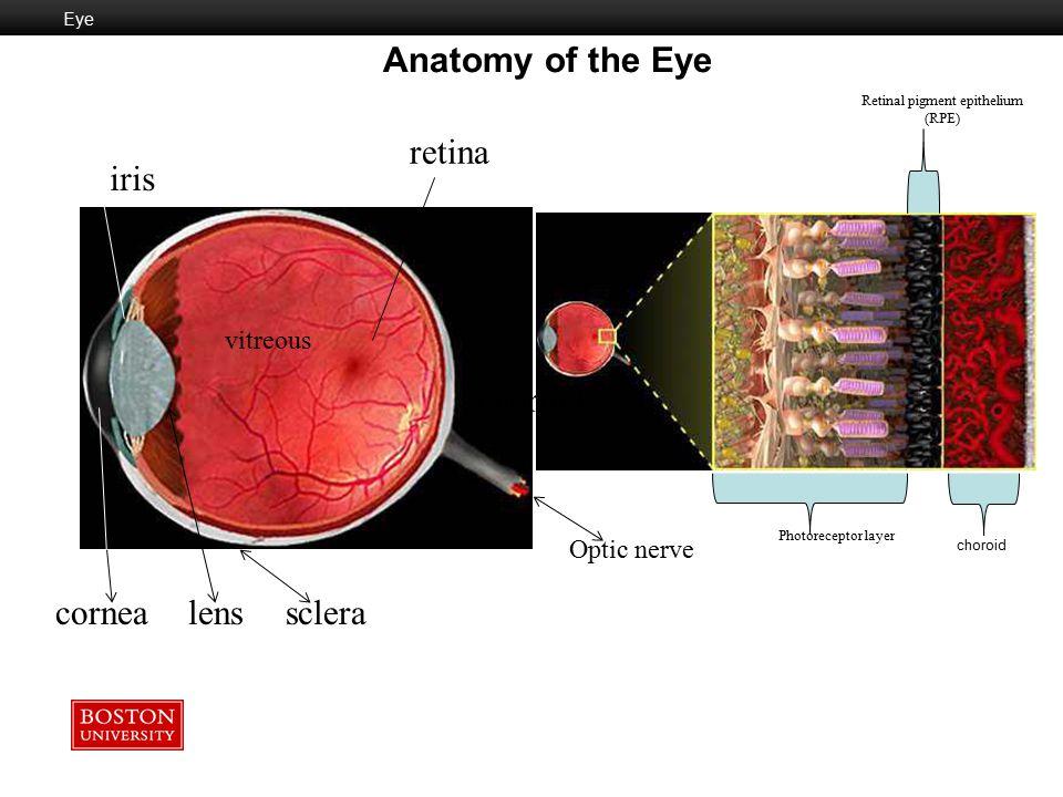 Anatomy of the Eye retina iris choroid cornea lens sclera vitreous