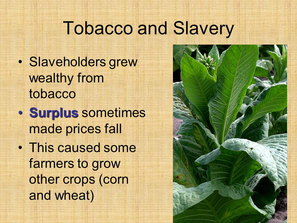 Tobacco and Slavery Slaveholders grew wealthy from tobacco