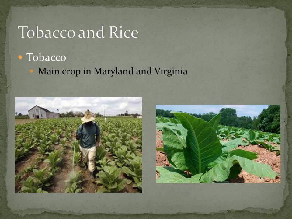Tobacco and Rice Tobacco Main crop in Maryland and Virginia