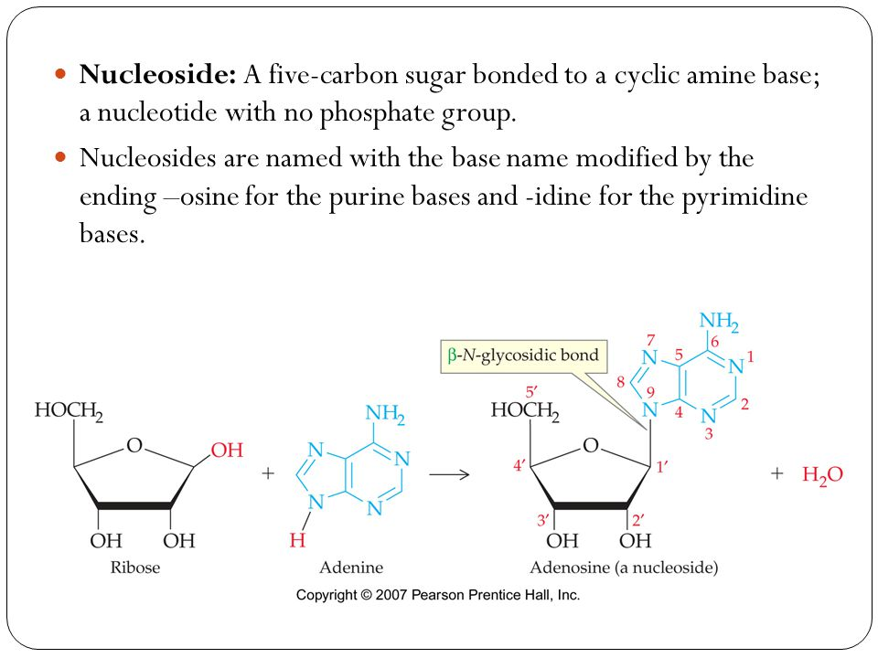 Nucleoside: A five-carbon sugar bonded to a cyclic amine base; a nucleotide with no phosphate group.
