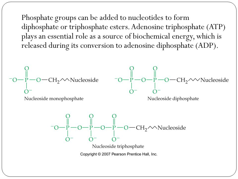Phosphate groups can be added to nucleotides to form diphosphate or triphosphate esters.