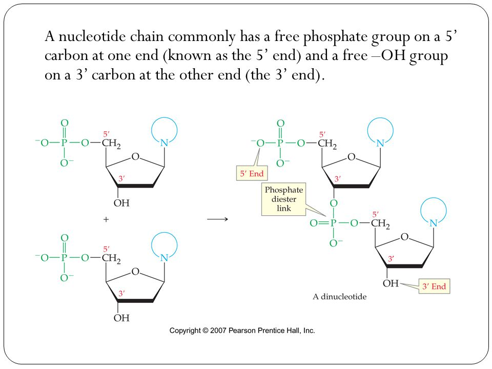 A nucleotide chain commonly has a free phosphate group on a 5' carbon at one end (known as the 5' end) and a free –OH group on a 3' carbon at the other end (the 3' end).