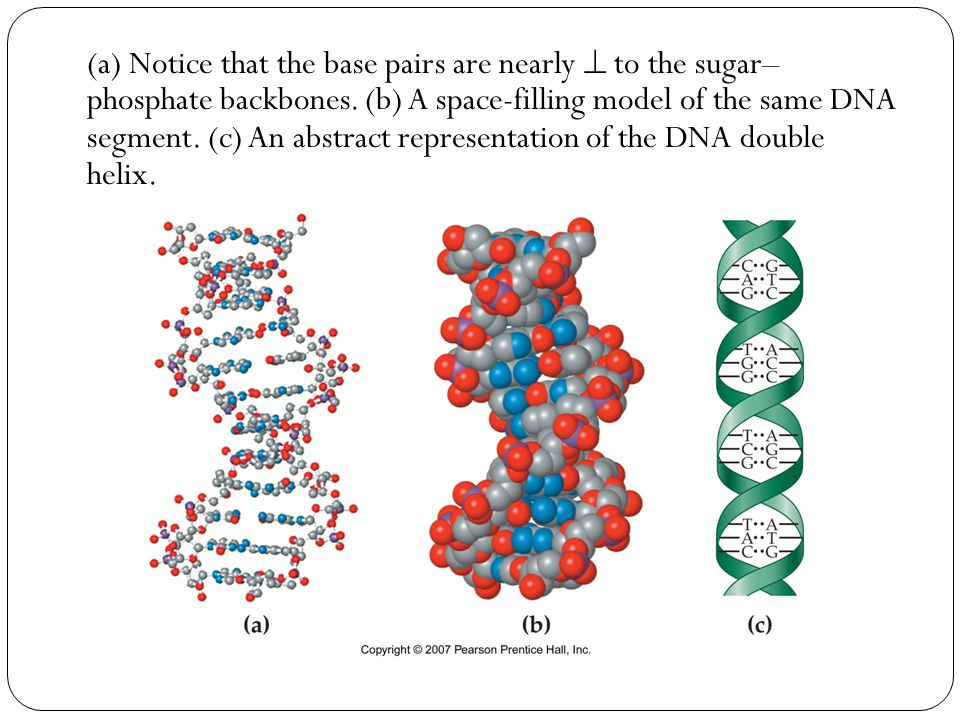 (a) Notice that the base pairs are nearly  to the sugar– phosphate backbones.
