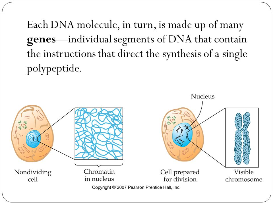 Each DNA molecule, in turn, is made up of many genes—individual segments of DNA that contain the instructions that direct the synthesis of a single polypeptide.