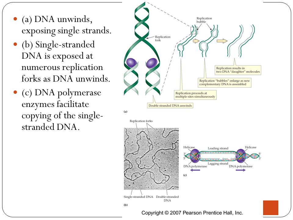 (a) DNA unwinds, exposing single strands.