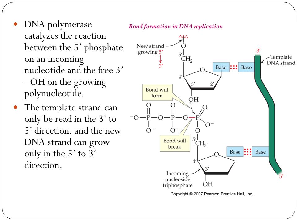 DNA polymerase catalyzes the reaction between the 5' phosphate on an incoming nucleotide and the free 3' –OH on the growing polynucleotide.