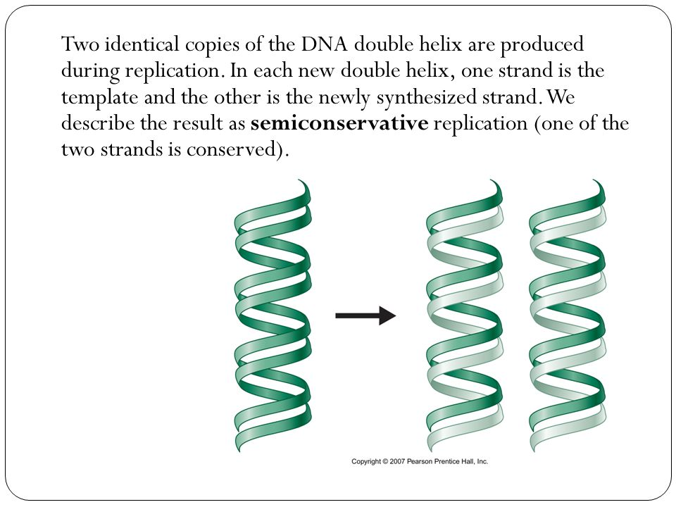 Two identical copies of the DNA double helix are produced during replication.