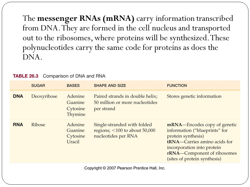 The messenger RNAs (mRNA) carry information transcribed from DNA