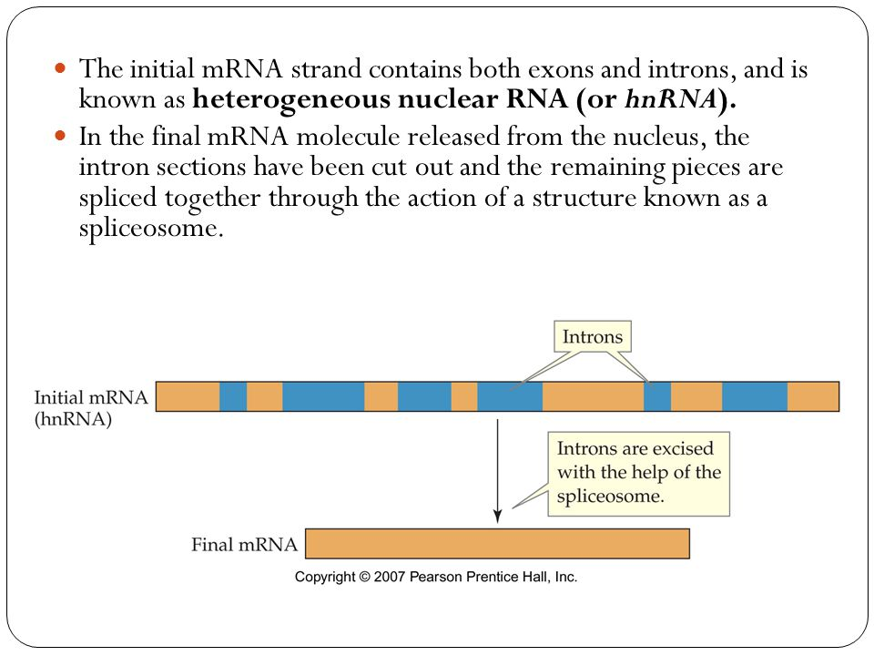 The initial mRNA strand contains both exons and introns, and is known as heterogeneous nuclear RNA (or hnRNA).