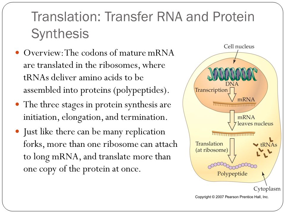 Translation: Transfer RNA and Protein Synthesis