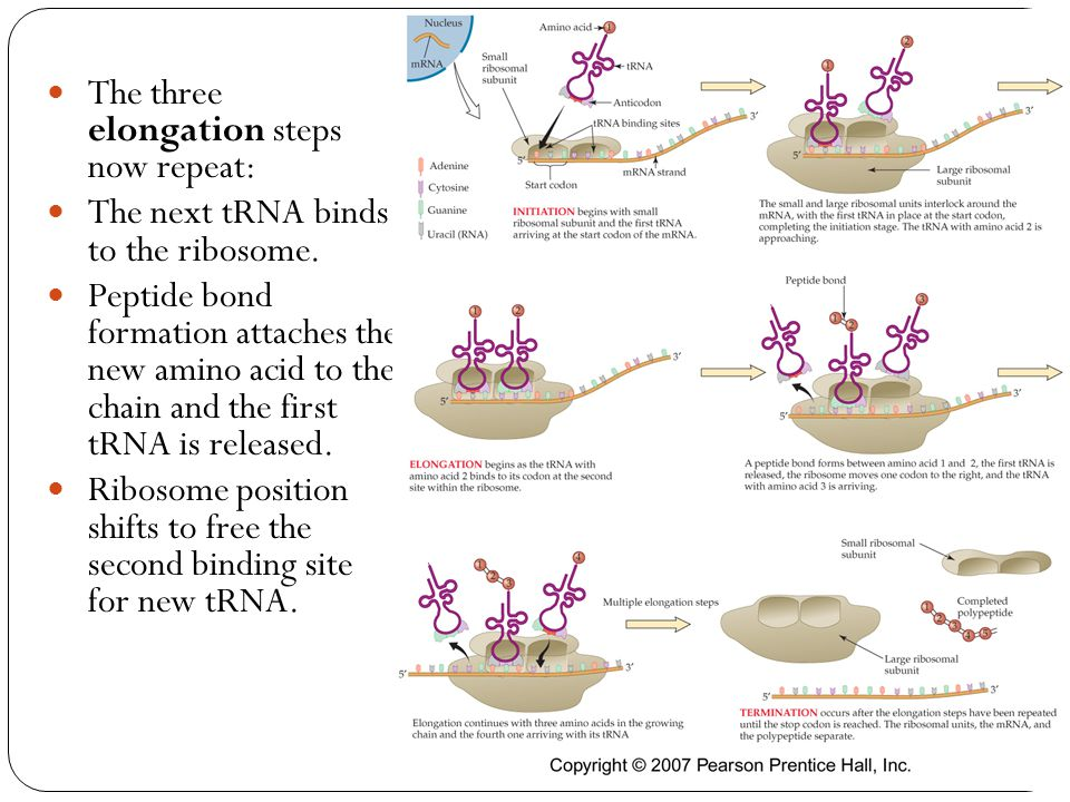 The three elongation steps now repeat: