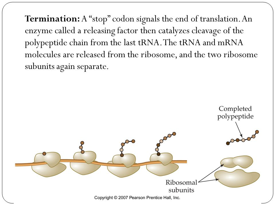 Termination: A stop codon signals the end of translation