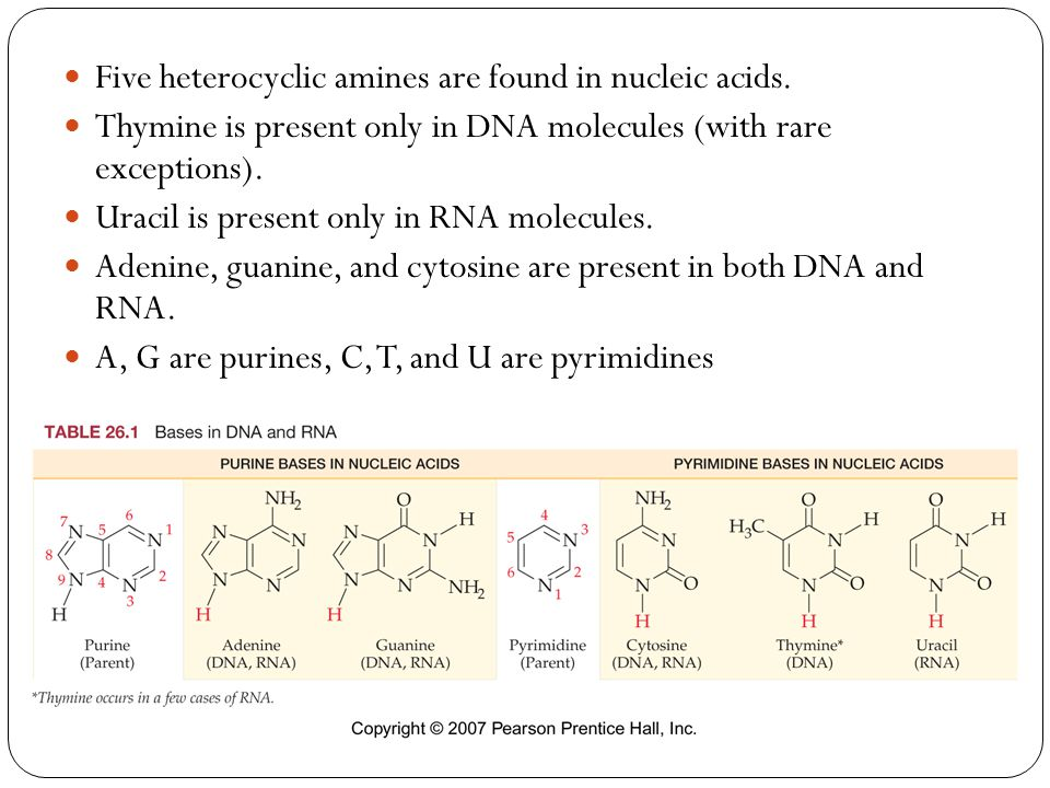 Five heterocyclic amines are found in nucleic acids.