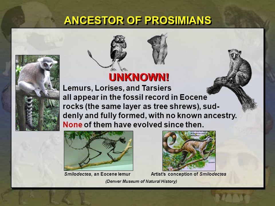 ANCESTOR OF PROSIMIANS
