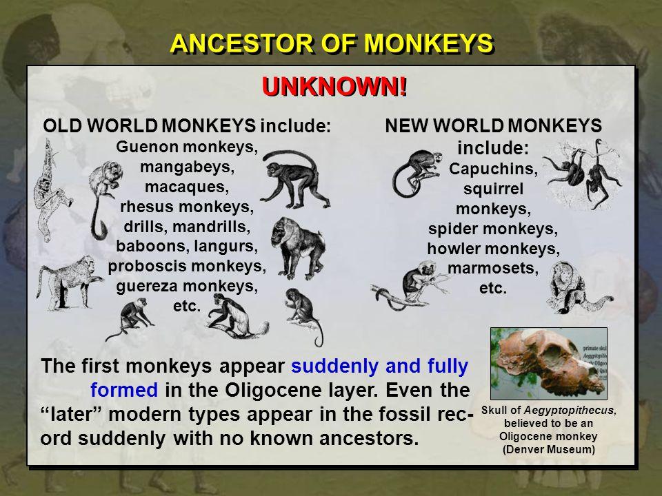 OLD WORLD MONKEYS include: