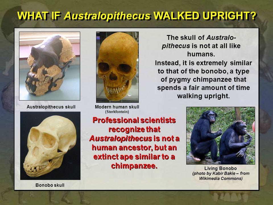 WHAT IF Australopithecus WALKED UPRIGHT