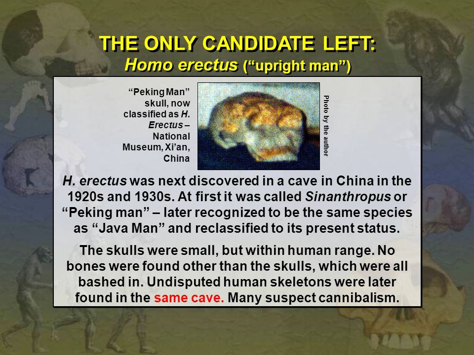 THE ONLY CANDIDATE LEFT: Homo erectus ( upright man )