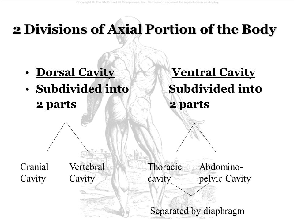 2 Divisions of Axial Portion of the Body