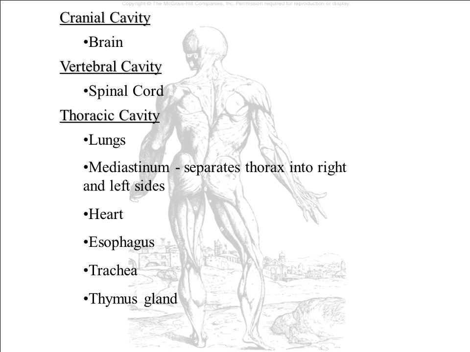 Cranial Cavity Brain. Vertebral Cavity. Spinal Cord. Thoracic Cavity. Lungs. Mediastinum - separates thorax into right and left sides.