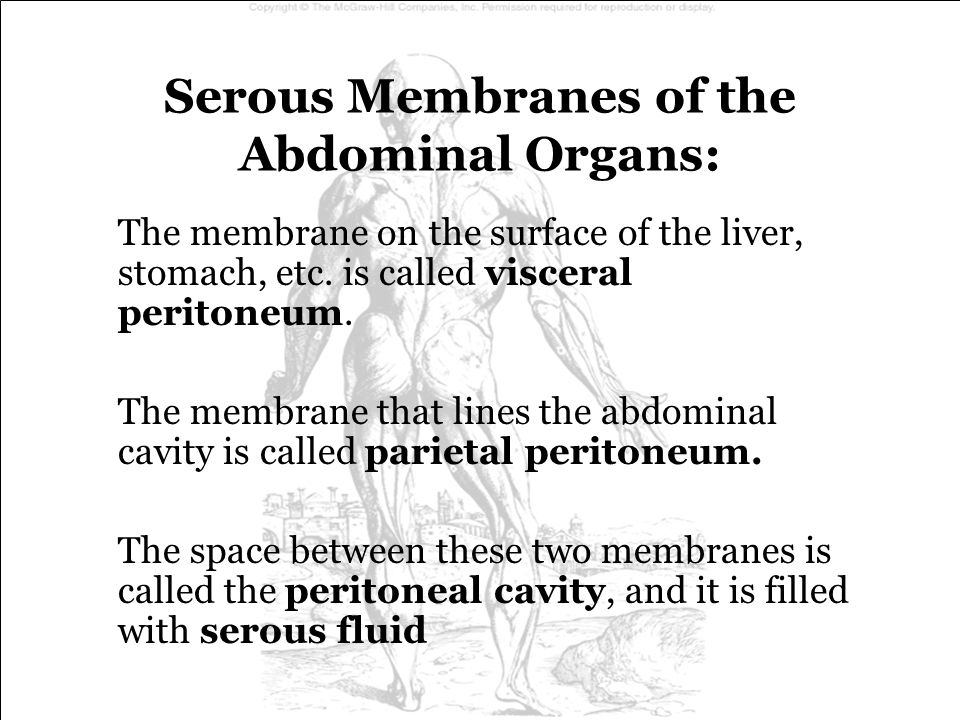 Serous Membranes of the Abdominal Organs: