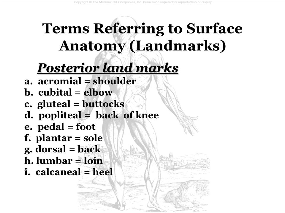 Terms Referring to Surface Anatomy (Landmarks)
