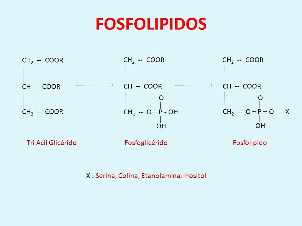 X : Serina, Colina, Etanolamina, Inositol