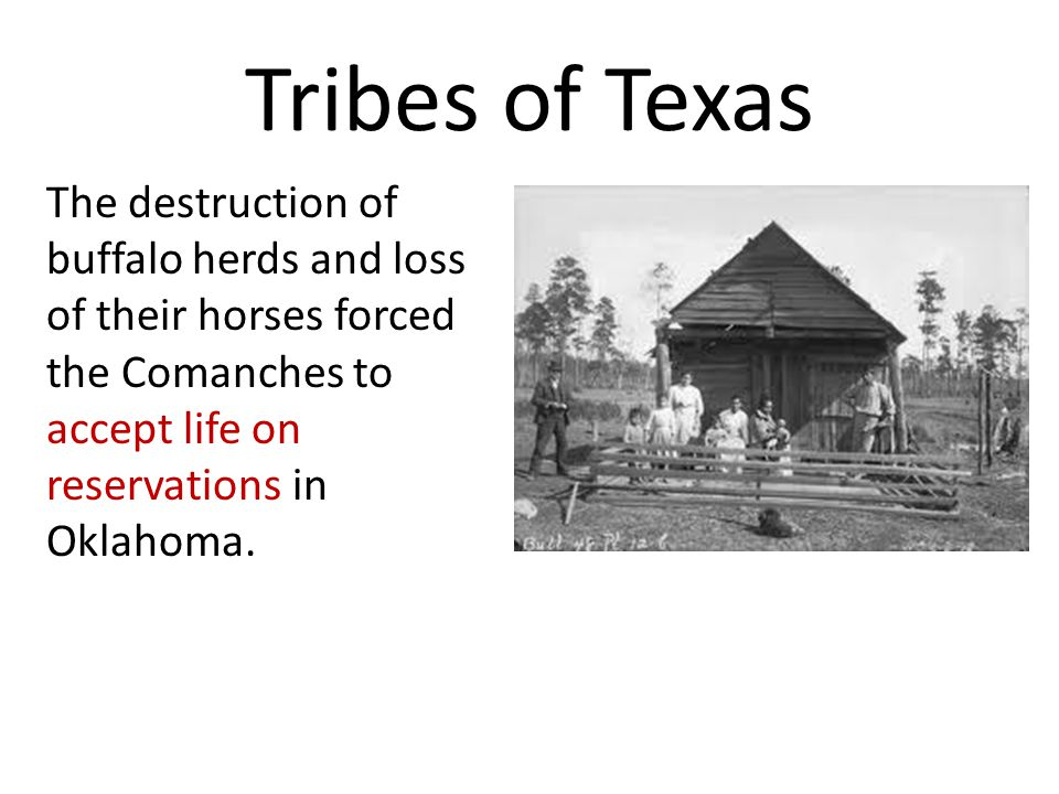 Tribes of Texas The destruction of buffalo herds and loss of their horses forced the Comanches to accept life on reservations in Oklahoma.