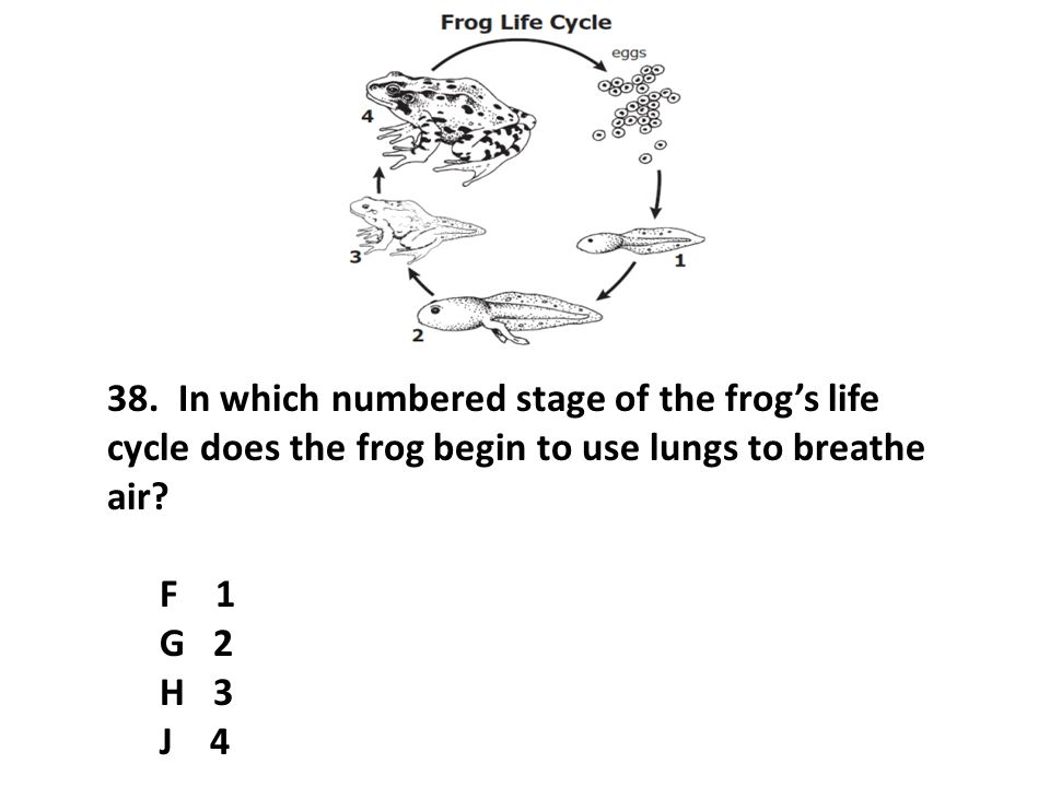 38. In which numbered stage of the frog's life cycle does the frog begin to use lungs to breathe air