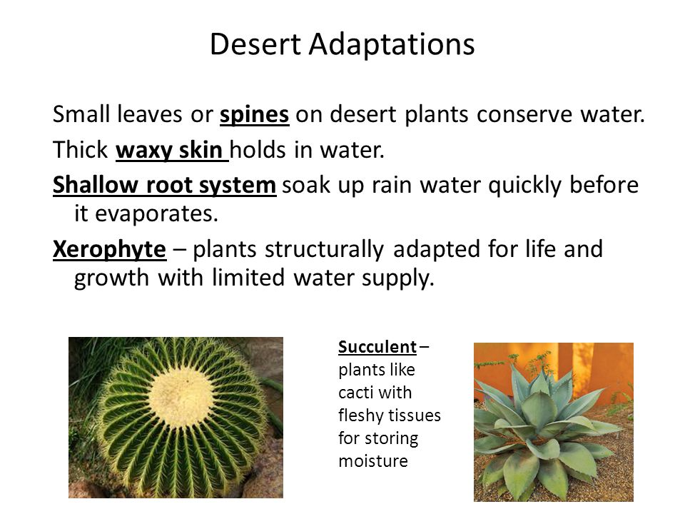 Desert Adaptations Small leaves or spines on desert plants conserve water. Thick waxy skin holds in water.