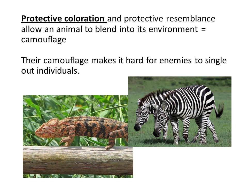 Protective coloration and protective resemblance allow an animal to blend into its environment = camouflage