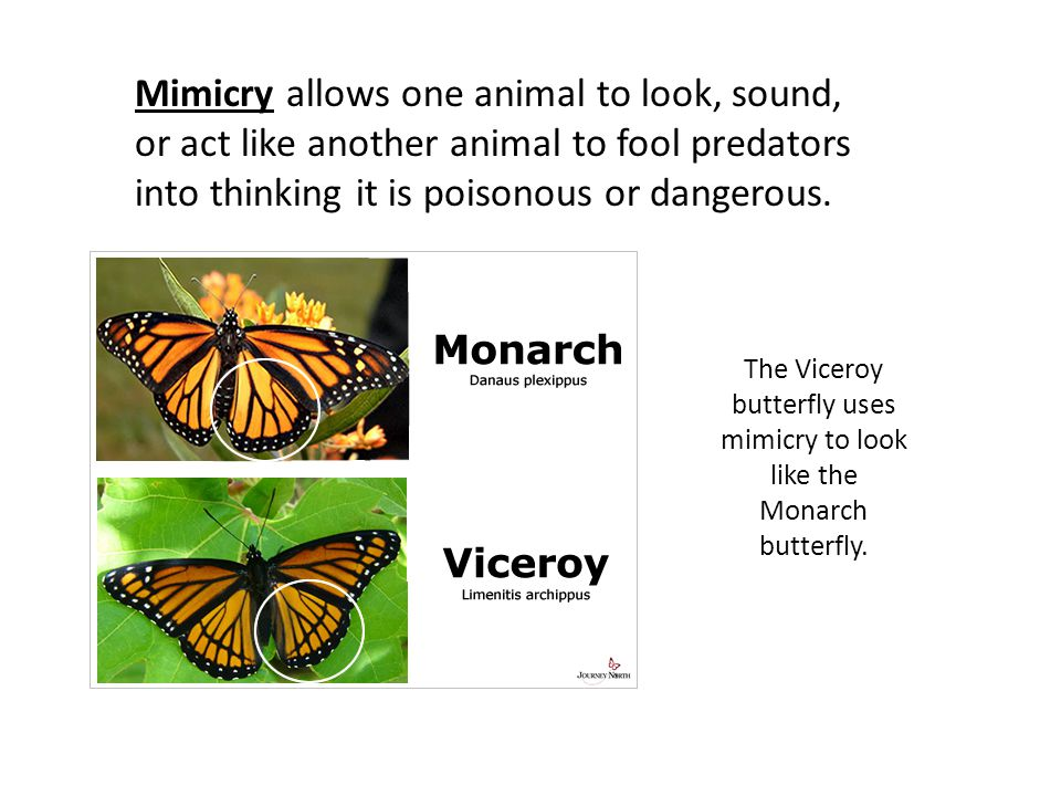 The Viceroy butterfly uses mimicry to look like the Monarch butterfly.