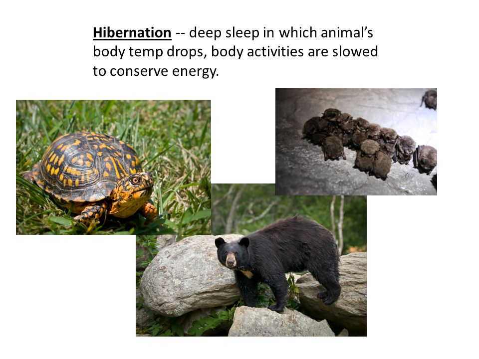 Hibernation -- deep sleep in which animal's body temp drops, body activities are slowed to conserve energy.