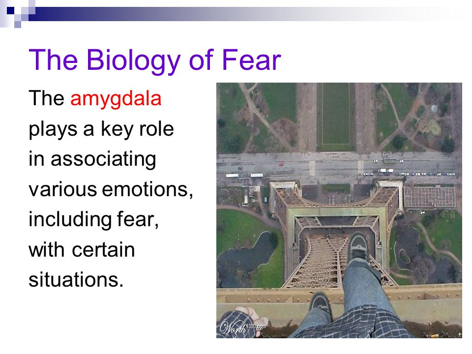 The Biology of Fear The amygdala plays a key role in associating
