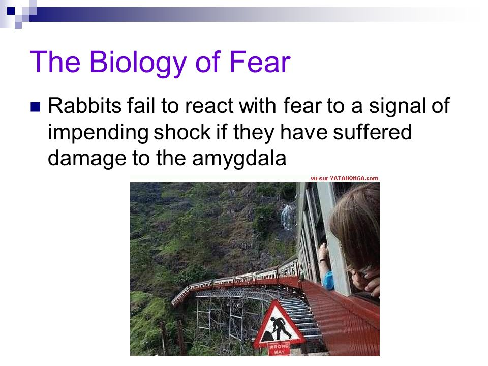 The Biology of Fear Rabbits fail to react with fear to a signal of impending shock if they have suffered damage to the amygdala.