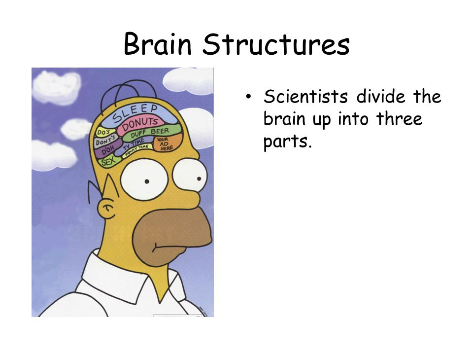Brain Structures Scientists divide the brain up into three parts.