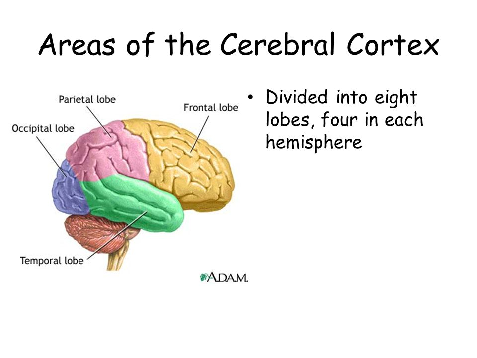Areas of the Cerebral Cortex
