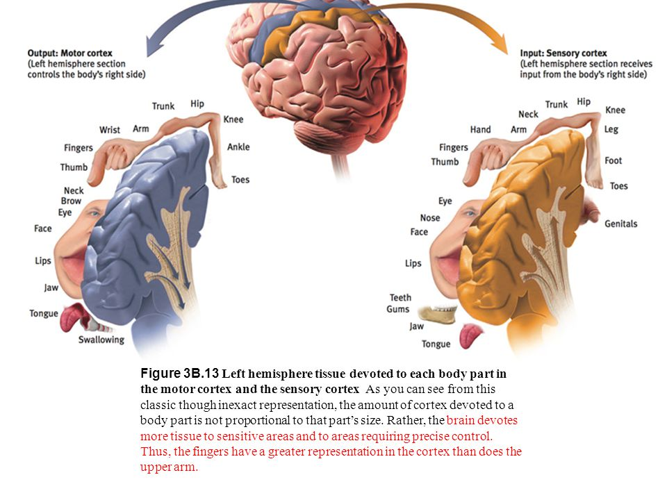 Figure 3B.13 Left hemisphere tissue devoted to each body part in the motor cortex and the sensory cortex As you can see from this classic though inexact representation, the amount of cortex devoted to a body part is not proportional to that part's size. Rather, the brain devotes more tissue to sensitive areas and to areas requiring precise control. Thus, the fingers have a greater representation in the cortex than does the upper arm.